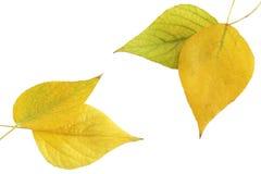 листво осины Стоковые Фотографии RF