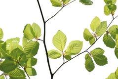 листво свежее Стоковое фото RF
