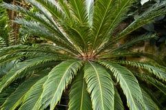 листво cycad стоковые изображения rf