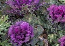 Листовая капуста взгляда крупного плана фиолетовая орнаментальная в Далласе, Техасе Стоковое фото RF