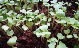 Листовая капуста детенышей растущая свежая Стоковые Фото