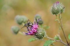 Листовка Megachile пчелы макроса серая кавказская серая на цветорасположении Стоковые Фотографии RF