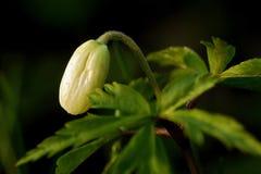 листовки зеленого цвета цветка донута белые стоковое фото