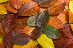 листовые золота 1 Стоковая Фотография RF