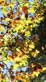 Листовые золота осени плоского дерева на солнце. Стоковые Изображения RF