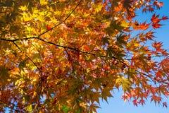 Листопад красной предпосылки листьев кленового листа стоковая фотография