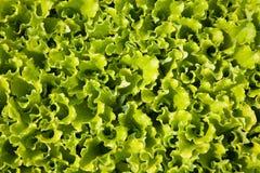 Листы салата Стоковое фото RF