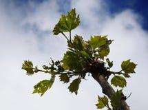 Листья акации зацветая весной стоковые фото