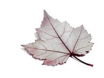 листья анатомирования Стоковые Изображения