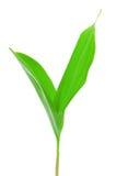 Листья ландыша изолированные на белизне Стоковая Фотография