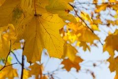 Листья апельсина в парке осени Стоковая Фотография