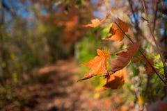 Листья апельсина осени падения на пути леса Стоковые Изображения RF