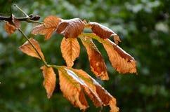 Листья апельсина осени Стоковые Фотографии RF