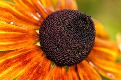 Листья апельсина почернения стеблей Стоковое фото RF