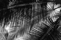 Листья ладони - абстрактная естественная предпосылка в сером масштабе Стоковое Фото