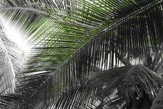 Листья ладони - абстрактная естественная предпосылка с смешиванием зеленого и серого масштаба Стоковые Изображения