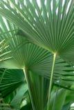 Листья ладони вентилятора Стоковое Изображение RF