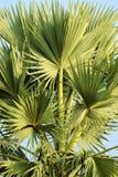 Листья ладони пальмиры на верхней части Стоковые Фотографии RF