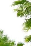Листья ладони Стоковое Изображение RF