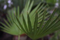 Листья ладони Стоковые Фотографии RF