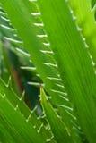 Листья алоэ Стоковые Изображения RF