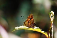 листья бабочки зеленые сидят стоковое фото