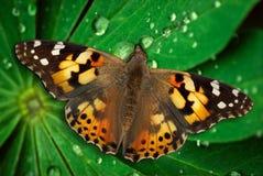 листья бабочки красотки Стоковая Фотография RF