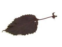 листья базилика Стоковое фото RF