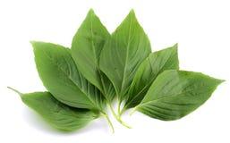 листья базилика Стоковые Фото