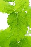 листья бальзама стоковое изображение rf