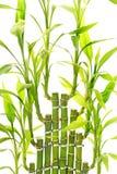 Листья бамбука стоковые фотографии rf