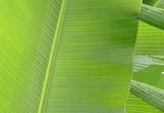 Листья банана закрывают вверх по изображению, с падениями дождя Стоковое фото RF