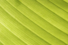листья банана зеленые Стоковое фото RF