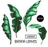 Листья банана изолированные на белой предпосылке Стоковые Изображения