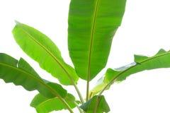 Листья банана на белой предпосылке Стоковые Фото