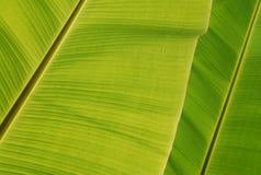 листья банана Стоковое фото RF