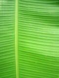 листья банана Стоковые Фотографии RF