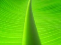 листья банана ii Стоковое Изображение