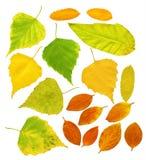 листья березы барбариса Стоковое фото RF