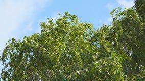 Листья березы в ветре сток-видео