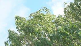 Листья березы в ветре видеоматериал