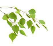 Листья березы дерева изолированного на белой предпосылке Стоковое Изображение