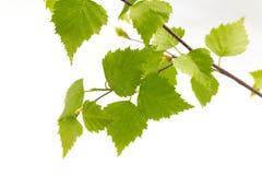Листья березы дерева. Стоковые Изображения