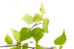 Листья березы дерева. Стоковые Фото