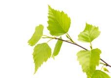 Листья березы дерева. Стоковая Фотография RF