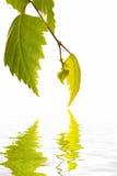 листья березы отражая воду Стоковое Изображение RF