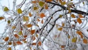 Листья березы покрыты с льдом после дождя в зиме акции видеоматериалы