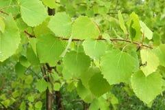 Листья березы с падениями дождя Стоковое Изображение RF