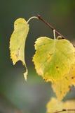 листья березы стоковые фотографии rf