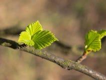Листья березы Стоковое Фото